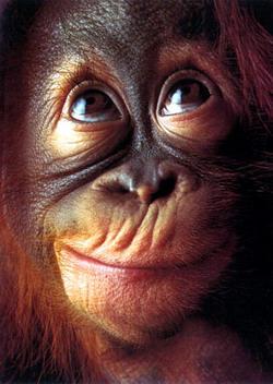 http://bellaciao.org/fr/IMG/jpg/Orangoutan-Jeune-1.jpg